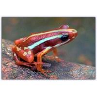 Zehirli Ok Kurbağası | Dort Poison Frog