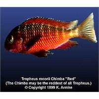 Tropheus Moori Chimba Üreme
