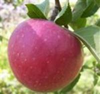 Elma Ve Faydaları Üzerine