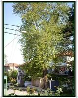 Türkiye deki Anıt Ağaçlar