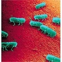 Salmonella Bakterisi