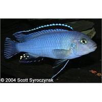 Mavi Prenses Balığı Doğal Bakım Önerileri