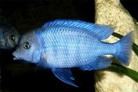 Cichlid Balıklarının Gizemi