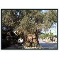 Anıt Ağaç Nedir? | Türkiye'deki Anıt Ağaçlar