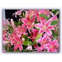 Zambak ( Lilium ) | Yetiştirilmesi | Türleri