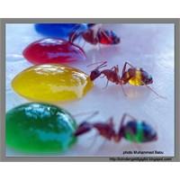 Şeffaf Göbekli Karıncalarla Şekerli Su Deneyi