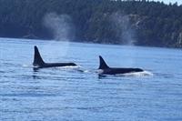 Balinalar Nasıl Su Fışkırtır