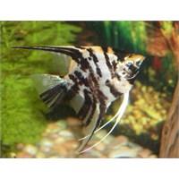 Melek Balığı Akvaryumu