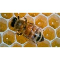 Arı Sütünün Sırrı