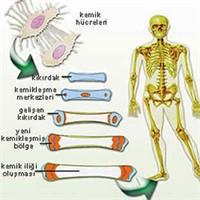 Hangi Organlar Ne Zaman Yaşlanıyor?