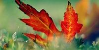 Kireçlenmenin İlacı Çınar Yaprağı