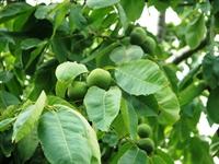 Ceviz Ağaçları Aspirin İlacı Salgılıyor