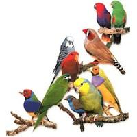 Kuşlar Nasıl Konuşabiliyorlar ?