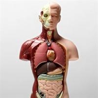Hangi Organ Ne Kadar Sürede Kendini Yeniliyor?