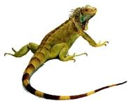 İguana Hakkında Kısa, Genel Bilgiler !