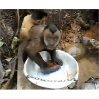 Bulaşık Yıkayan Maymun Gördünüz Mü ?
