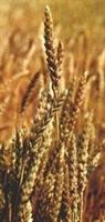 Buğday Ve Buğdayın Faydaları