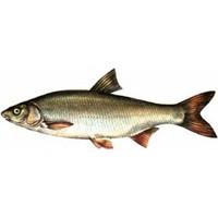 Tatlısu Balık Türleri