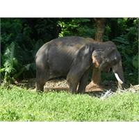 Phuket'te Fil Safarisi