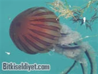 Pusula Denizanası Özellikleri Ve Zararlı Etkileri