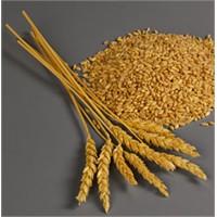 Buğdayın Faydaları Nelerdir?