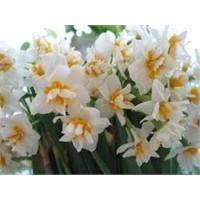 Çiçeğimsin Nergis