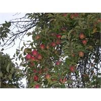 Köyde Elma Hasadı