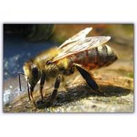 Yarım Kilo Bal İçin 130.000 Km Uçan Arılar