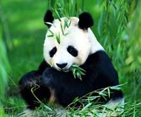Panda nın Gen Haritası Çıkarıldı
