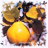 Ayva Meyvesi Ve Ayvanın Faydaları
