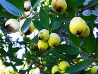 Murt (mersin) Meyvesi Ve Faydaları