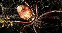 Bir Metre Ağ Örebilen Örümcek Keşfedildi