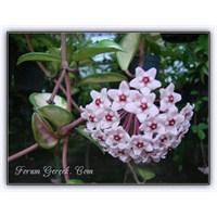 Mis Kokulu Bir Çicek | Mum Çiçeği (Hoya Carnosa)
