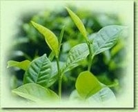Yeşil Çayın Faydaları Ve Kullanım Alanları