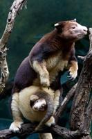 İlginç Ağaç Kangurusu