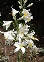 Zambak Çiçeği Veyağının Faydaları