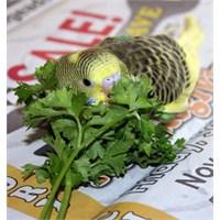Muhabbet Kuşlarının Beslenmesi