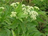 Şifalı Bitkiler - Mürver Ve Faydaları