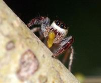 Vejetaryen Örümcek