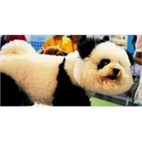 Panda Görünümlü Köpek
