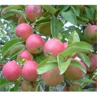 Yeşil Ve Kırmızı Elmanın Faydaları Nelerdir?