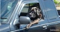 Araç Süren Köpekler