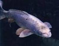 İnsan Yüzlü Balıklar