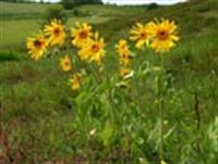 Şifalı Bitkiler - Öküzgözü Bitkisi Ve Faydaları