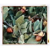 Jojoba (Simmondsia Chinensis) Bitkisi