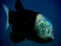 """Şeffaf Başlı Balık """"macropinna Microstoma"""""""