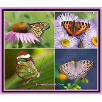 Kelebek Ve Kelebek Familyaları