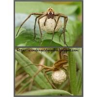 Dişi Örümcek Pisaura Mirabilis'in Yeteneği