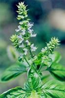 Zayıflatan Bitkiler - Kekik Ve Fesleğen