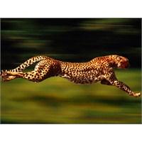 Çita Saatte Kaç Km Hıza Ulaşır?